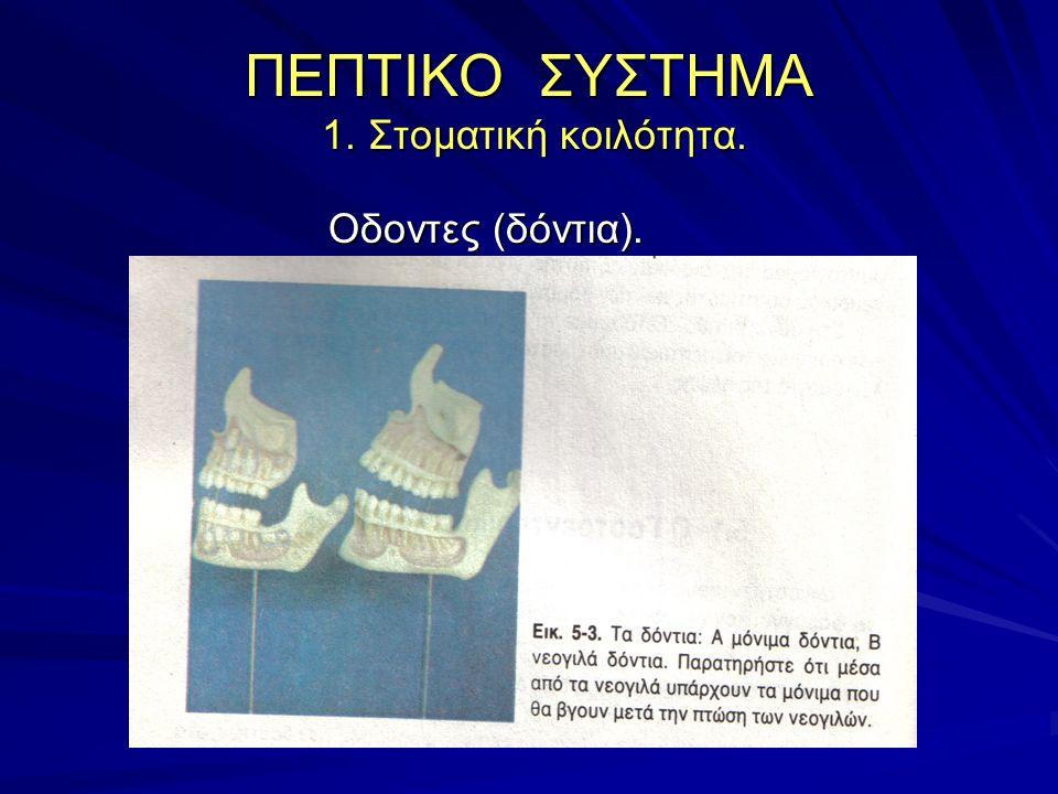 Οδοντες (δόντια) Οδοντες (δόντια) Νεογιλοί οδοντες Μόνιμοι οδοντες οδοντικός τύπος νεογιλών: 2 Χ 2 τομείς, 1 κυνόδοντας, 2 γομφίοι = 20 Νεογιλοί οδοντες: 6 ο μηνά (εμφάνιση) 2 ο, 3 ο έτος (ολοκλήρωση).