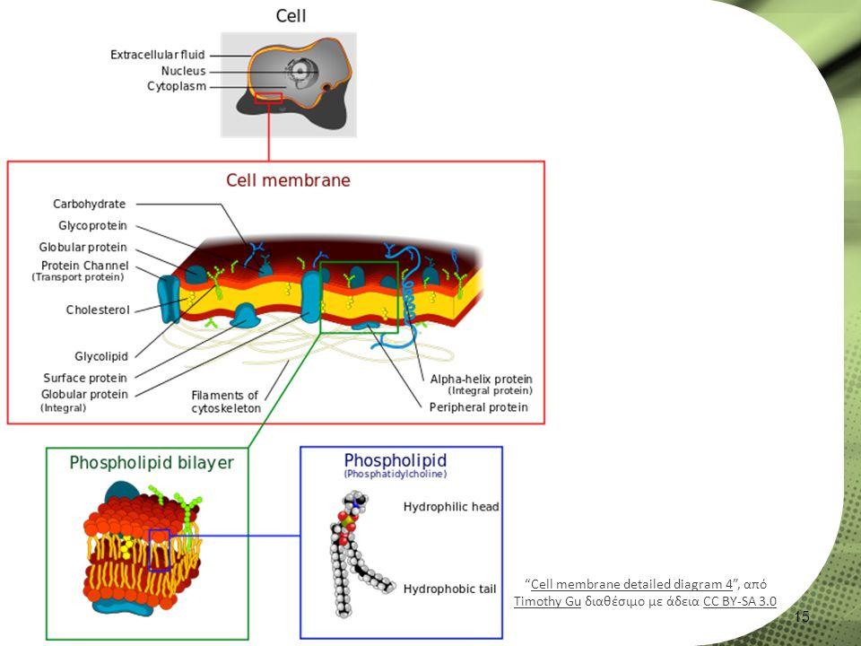 """15 """"Cell membrane detailed diagram 4"""", από Timothy Gu διαθέσιμο με άδεια CC BY-SA 3.0Cell membrane detailed diagram 4 Timothy GuCC BY-SA 3.0"""