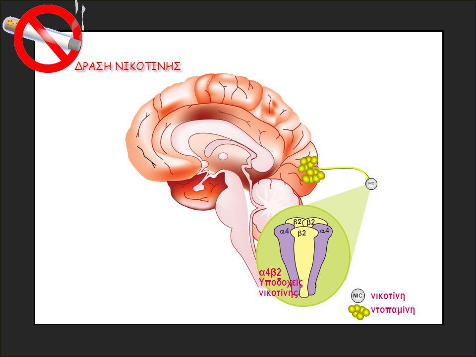 ΔΡΑΣΗ ΝΙΚΟΤΙΝΗΣ 44 NIC νικοτίνη ντοπαμίνη NIC 44 22 22 22 α 4 β 2 Υποδοχείς νικοτίνης