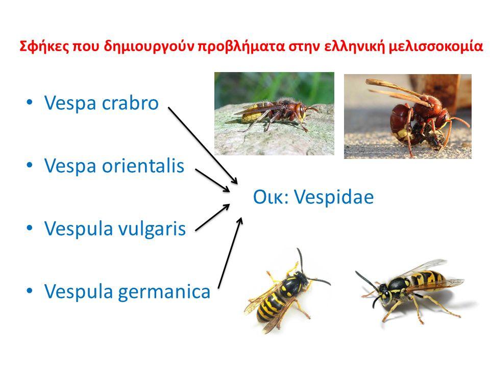 Σφήκες που δημιουργούν προβλήματα στην ελληνική μελισσοκομία Vespa crabro Vespa orientalis Οικ: Vespidae Vespula vulgaris Vespula germanica
