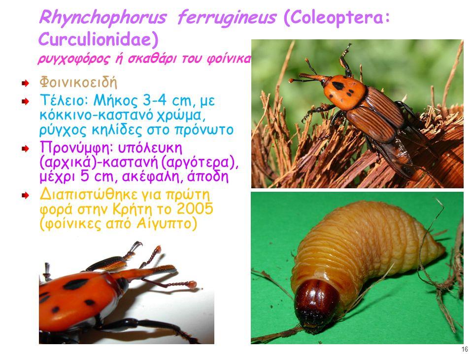 Rhynchophorus ferrugineus (Coleoptera: Curculionidae) ρυγχοφόρος ή σκαθάρι του φοίνικα Φοινικοειδή Τέλειο: Μήκος 3-4 cm, με κόκκινο-καστανό χρώμα, ρύγ