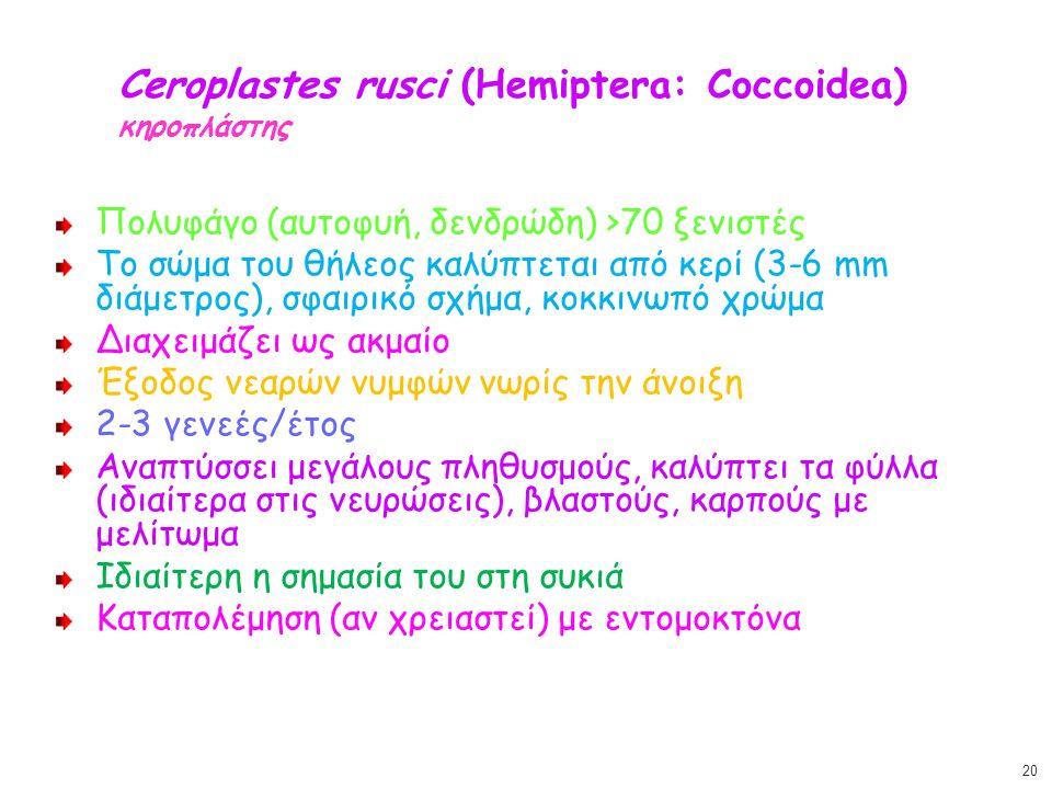 Ceroplastes rusci (Hemiptera: Coccoidea) κηροπλάστης Πολυφάγο (αυτοφυή, δενδρώδη) >70 ξενιστές Το σώμα του θήλεος καλύπτεται από κερί (3-6 mm διάμετρο