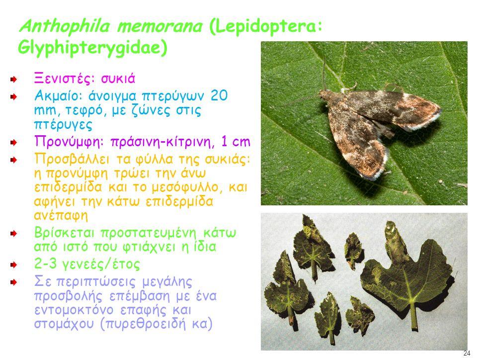 Anthophila memorana (Lepidoptera: Glyphipterygidae) Ξενιστές: συκιά Ακμαίο: άνοιγμα πτερύγων 20 mm, τεφρό, με ζώνες στις πτέρυγες Προνύμφη: πράσινη-κί