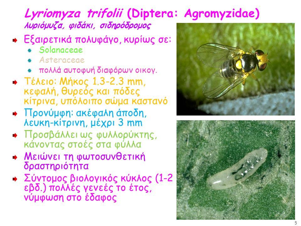 Lyriomyza trifolii (Diptera: Agromyzidae) λυριόμυζα, φιδάκι, σιδηρόδρομος Εξαιρετικά πολυφάγο, κυρίως σε: Solanaceae Asteraceae πολλά αυτοφυή διαφόρων