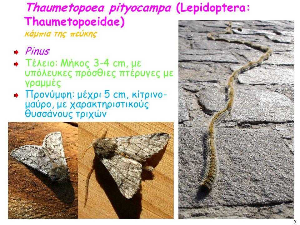 Thaumetopoea pityocampa (Lepidoptera: Thaumetopoeidae) κάμπια της πεύκης Pinus Τέλειο: Μήκος 3-4 cm, με υπόλευκες πρόσθιες πτέρυγες με γραμμές Προνύμφ