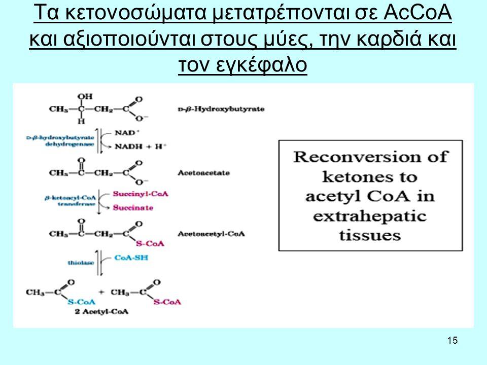 15 Τα κετονοσώματα μετατρέπονται σε AcCoA και αξιοποιούνται στους μύες, την καρδιά και τον εγκέφαλο