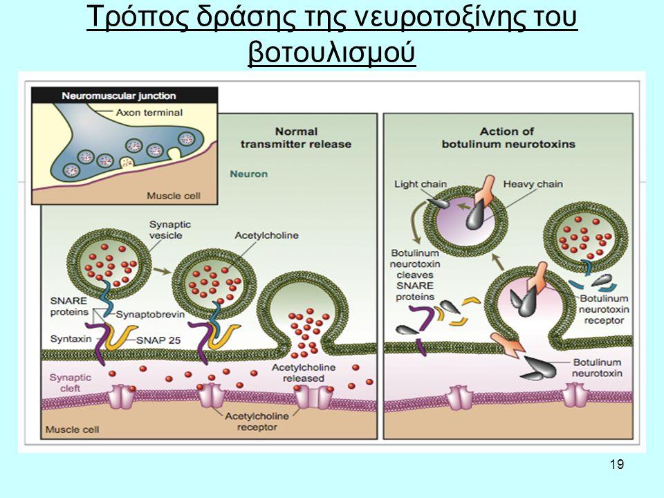 19 Τρόπος δράσης της νευροτοξίνης του βοτουλισμού