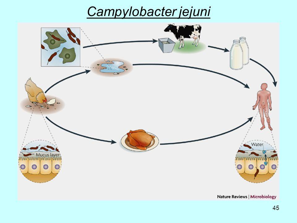 45 Campylobacter jejuni