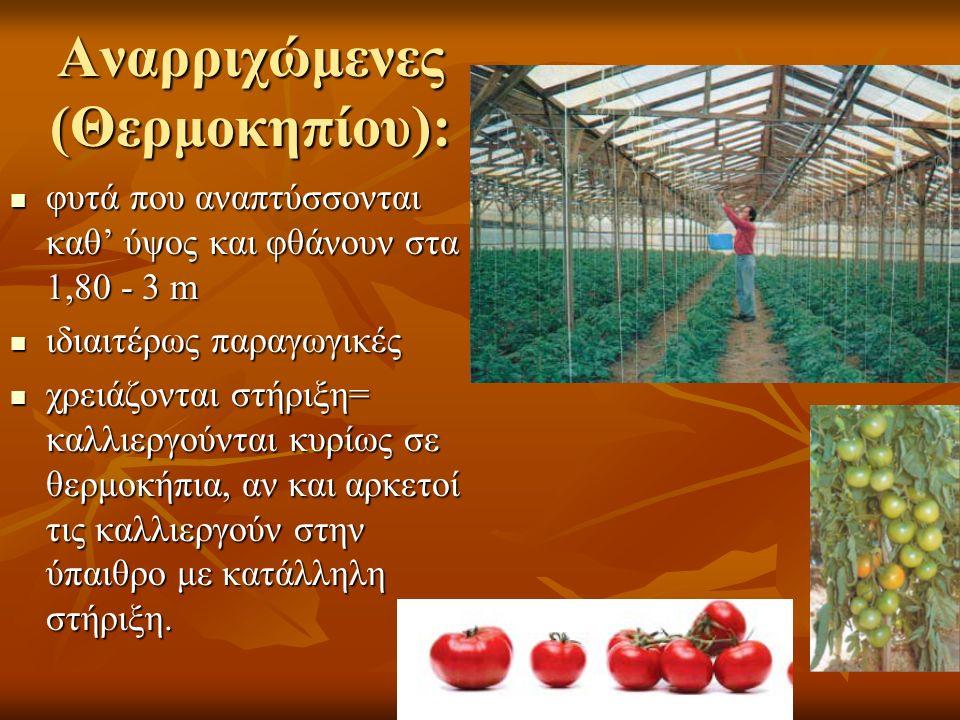 Αναρριχώμενες (Θερμοκηπίου): φυτά που αναπτύσσονται καθ' ύψος και φθάνουν στα 1,80 - 3 m φυτά που αναπτύσσονται καθ' ύψος και φθάνουν στα 1,80 - 3 m ιδιαιτέρως παραγωγικές ιδιαιτέρως παραγωγικές χρειάζονται στήριξη= καλλιεργούνται κυρίως σε θερμοκήπια, αν και αρκετοί τις καλλιεργούν στην ύπαιθρο με κατάλληλη στήριξη.