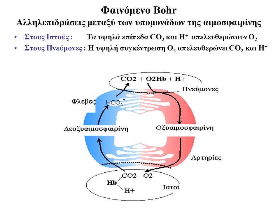 Φαινόμενο Bohr Αλληλεπιδράσεις μεταξύ των υπομονάδων της αιμοσφαιρίνης Στους Ιστούς : Τα υψηλά επίπεδα CO 2 και Η + απελευθερώνουν Ο 2 Στους Πνεύμονες : Η υψηλή συγκέντρωση Ο 2 απελευθερώνει CO 2 και Η +