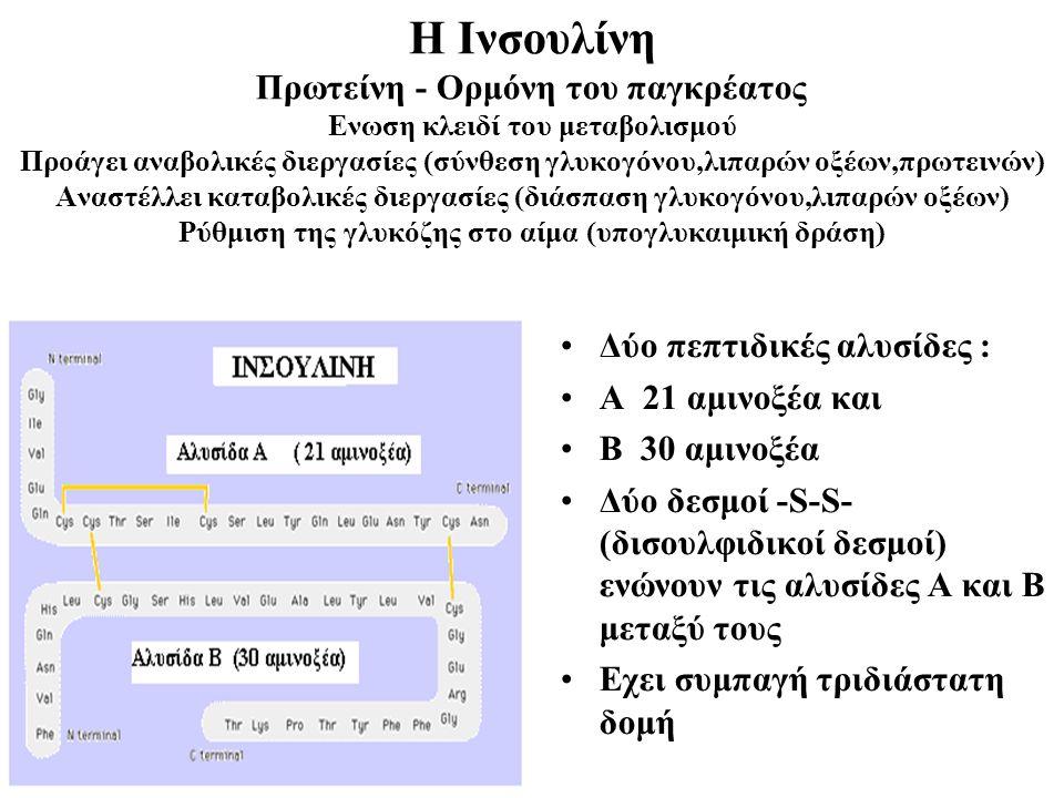Η Ινσουλίνη Πρωτείνη - Ορμόνη του παγκρέατος Ενωση κλειδί του μεταβολισμού Προάγει αναβολικές διεργασίες (σύνθεση γλυκογόνου,λιπαρών οξέων,πρωτεινών) Αναστέλλει καταβολικές διεργασίες (διάσπαση γλυκογόνου,λιπαρών οξέων) Ρύθμιση της γλυκόζης στο αίμα (υπογλυκαιμική δράση) Δύο πεπτιδικές αλυσίδες : Α 21 αμινοξέα και Β 30 αμινοξέα Δύο δεσμοί -S-S- (δισουλφιδικοί δεσμοί) ενώνουν τις αλυσίδες A και Β μεταξύ τους Εχει συμπαγή τριδιάστατη δομή