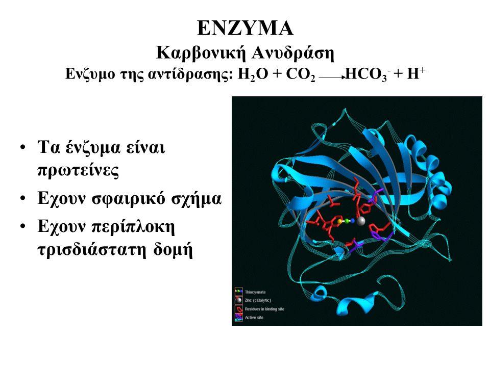 ΕΝΖΥΜΑ Καρβονική Ανυδράση Ενζυμο της αντίδρασης: Η 2 Ο + CO 2 ΗCO 3 - + H + Τα ένζυμα είναι πρωτείνες Εχουν σφαιρικό σχήμα Εχουν περίπλοκη τρισδιάστατη δομή