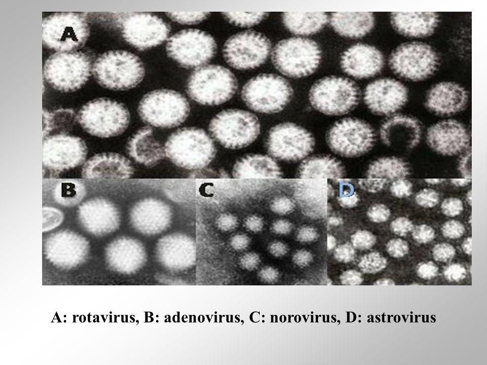 Α: rotavirus, B: adenovirus, C: norovirus, D: astrovirus