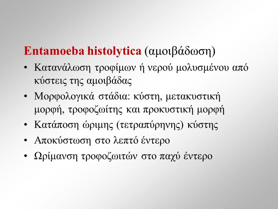 Εntamoeba histolytica (αμοιβάδωση) Κατανάλωση τροφίμων ή νερού μολυσμένου από κύστεις της αμοιβάδας Μορφολογικά στάδια: κύστη, μετακυστική μορφή, τροφοζωίτης και προκυστική μορφή Κατάποση ώριμης (τετραπύρηνης) κύστης Αποκύστωση στο λεπτό έντερο Ωρίμανση τροφοζωιτών στο παχύ έντερο