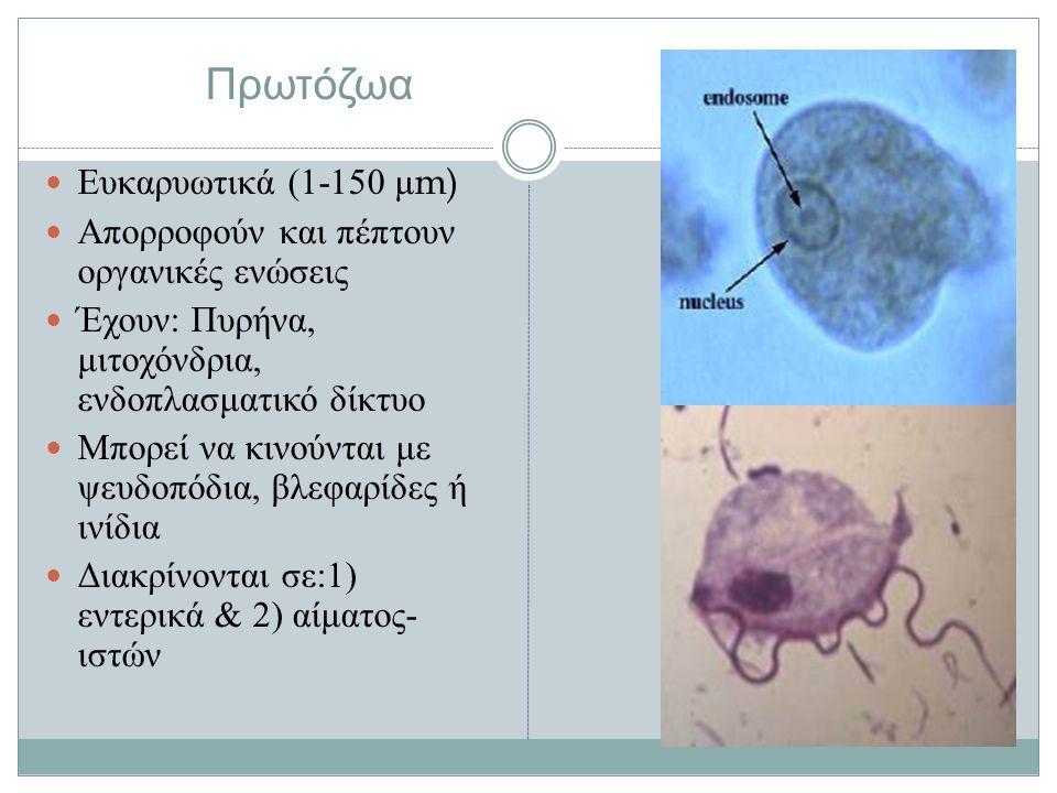 Πρωτόζωα Ευκαρυωτικά (1-150 μ m) Απορροφούν και πέπτουν οργανικές ενώσεις Έχουν : Πυρήνα, μιτοχόνδρια, ενδοπλασματικό δίκτυο Μπορεί να κινούνται με ψευδοπόδια, βλεφαρίδες ή ινίδια Διακρίνονται σε :1) εντερικά & 2) αίματος - ιστών
