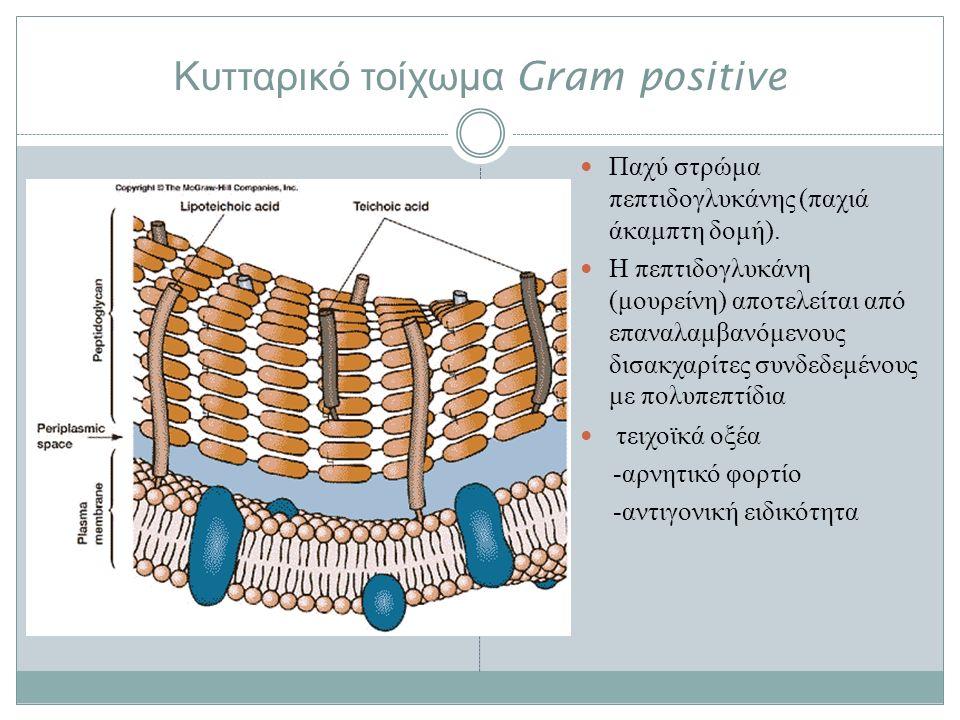 Κυτταρικό τοίχωμα Gram positive Παχύ στρώμα πεπτιδογλυκάνης (παχιά άκαμπτη δομή).