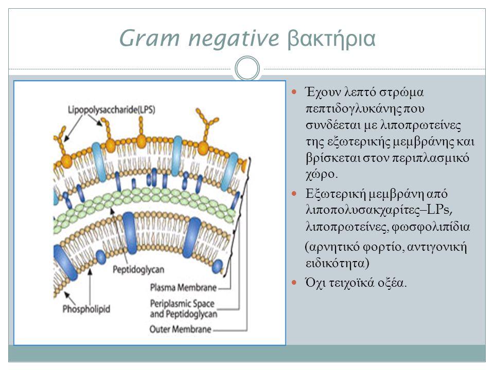 Gram negative βακτήρια Έχουν λεπτό στρώμα πεπτιδογλυκάνης που συνδέεται με λιποπρωτείνες της εξωτερικής μεμβράνης και βρίσκεται στον περιπλασμικό χώρο.