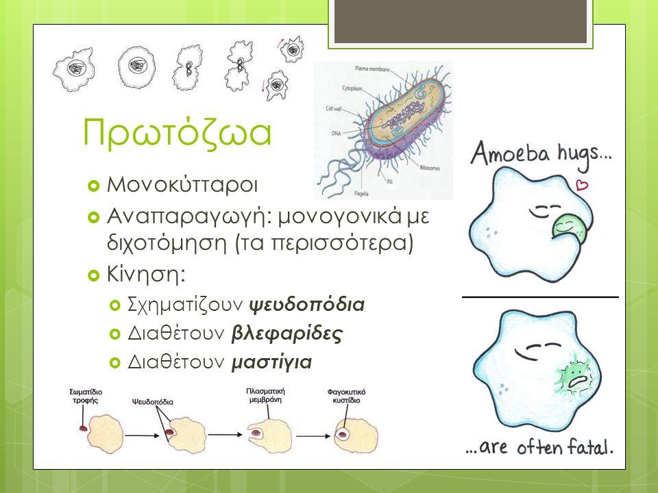Πρωτόζωα  Μονοκύτταροι  Αναπαραγωγή: μονογονικά με διχοτόμηση (τα περισσότερα)  Κίνηση:  Σχηματίζουν ψευδοπόδια  Διαθέτουν βλεφαρίδες  Διαθέτουν μαστίγια