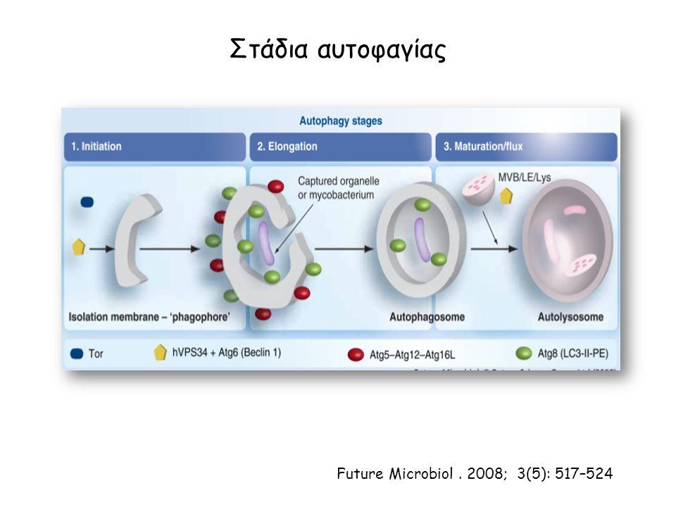 Στάδια αυτοφαγίας Future Microbiol. 2008; 3(5): 517–524