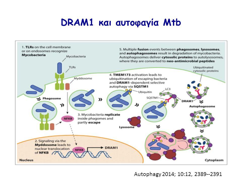DRAM1 και αυτοφαγία Mtb Autophagy 2014; 10:12, 2389--2391