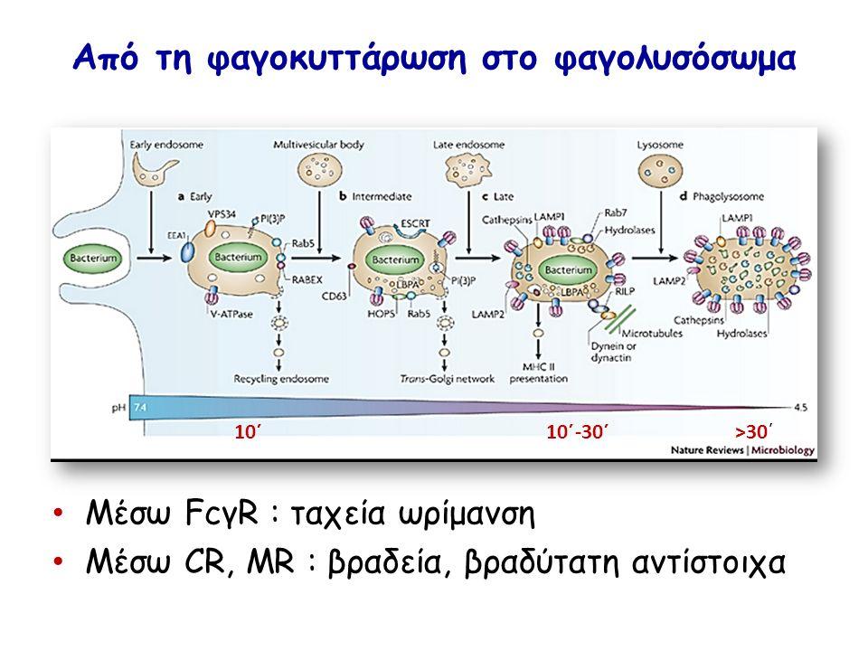 Από τη φαγοκυττάρωση στο φαγολυσόσωμα Μέσω FcγR : ταχεία ωρίμανση Μέσω CR, MR : βραδεία, βραδύτατη αντίστοιχα 10΄ 10΄-30΄ >30΄