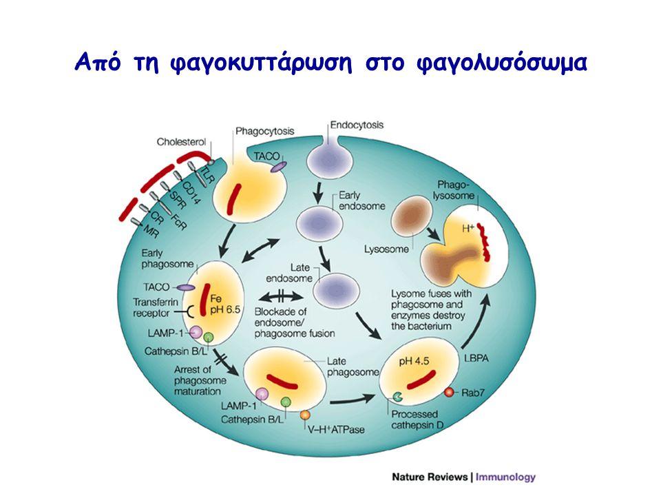 Από τη φαγοκυττάρωση στο φαγολυσόσωμα