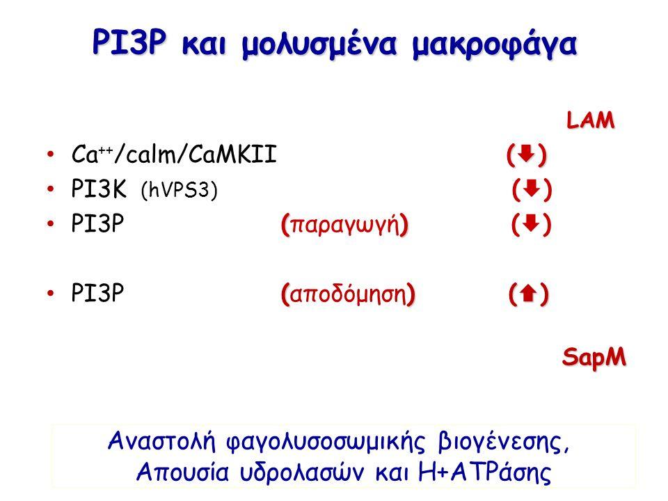 PI3P και μολυσμένα μακροφάγα LAM (  ) Ca ++ /calm/CaMKII (  ) PI3K (hVPS3) (  ) () PI3P (παραγωγή) (  ) ()(  ) PI3P (αποδόμηση) (  ) SapM SapM Α