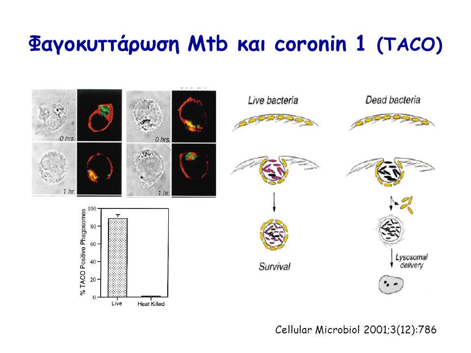 Φαγοκυττάρωση Μtb και coronin 1 (TACO) Cellular Microbiol 2001;3(12):786