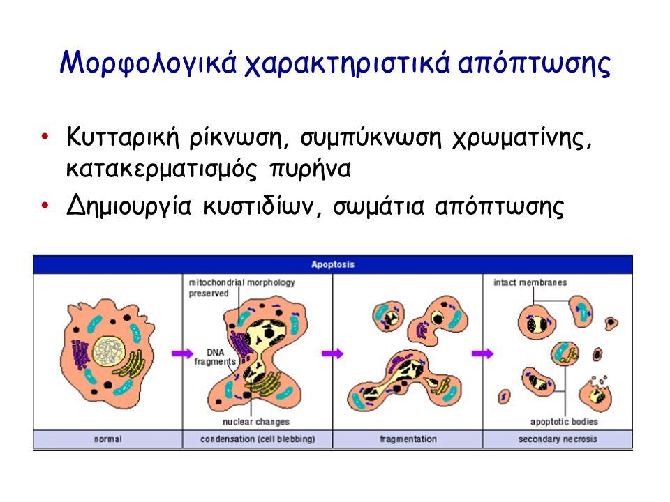 Μορφολογικά χαρακτηριστικά απόπτωσης Κυτταρική ρίκνωση, συμπύκνωση χρωματίνης, κατακερματισμός πυρήνα Δημιουργία κυστιδίων, σωμάτια απόπτωσης