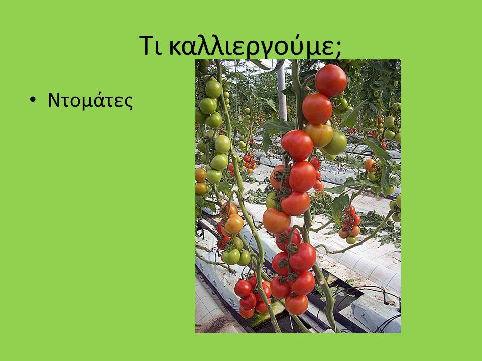 Τι καλλιεργούμε; Ντομάτες