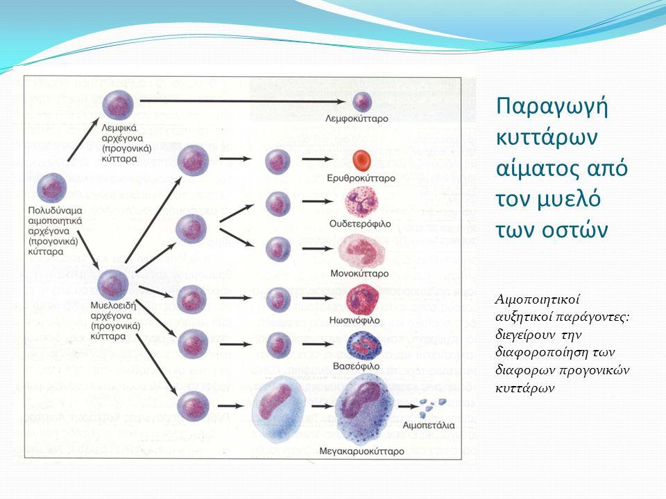 Παραγωγή κυττάρων αίματος από τον μυελό των οστών Αιμοποιητικοί αυξητικοί παράγοντες: διεγείρουν την διαφοροποίηση των διαφορων προγονικών κυττάρων