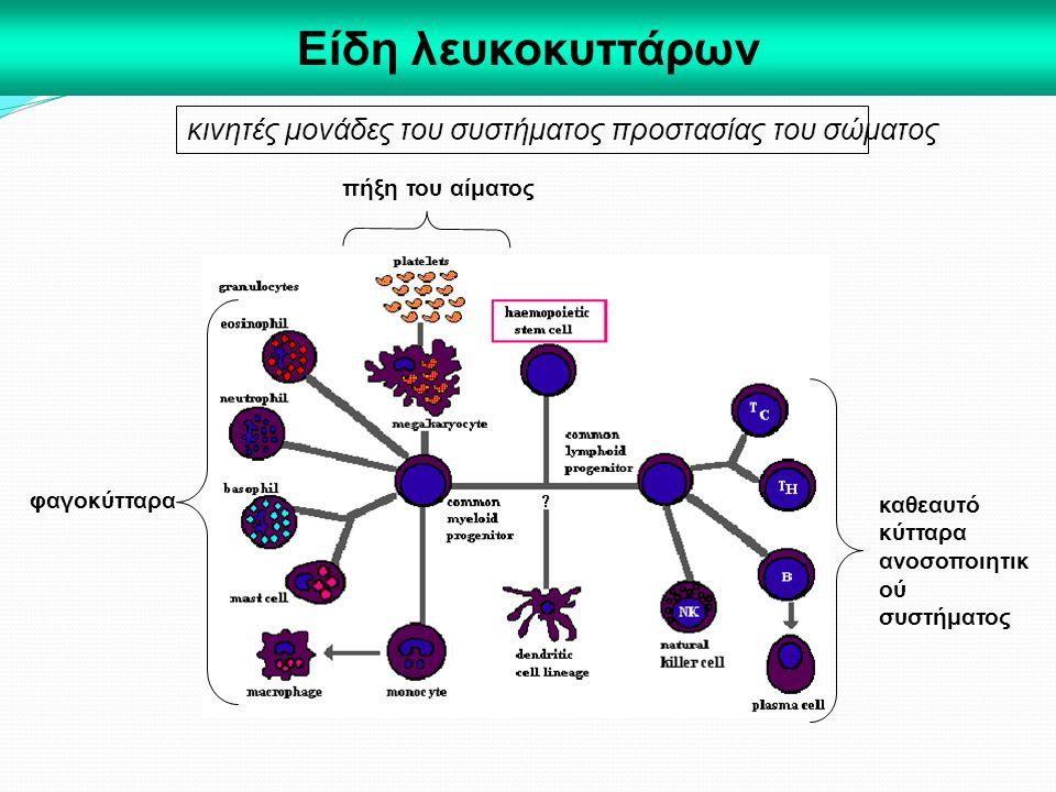Είδη λευκοκυττάρων κινητές μονάδες του συστήματος προστασίας του σώματος φαγοκύτταρα πήξη του αίματος καθεαυτό κύτταρα ανοσοποιητικ ού συστήματος