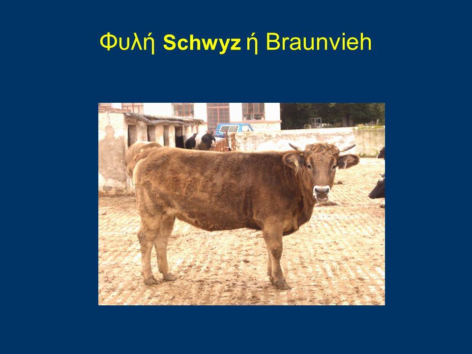 Φυλή Schwyz ή Braunvieh