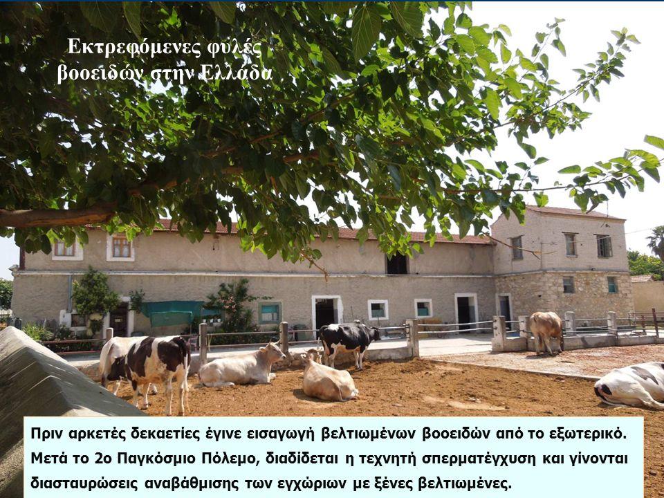 Εκτρεφόμενες φυλές βοοειδών στην Ελλάδα Πριν αρκετές δεκαετίες έγινε εισαγωγή βελτιωμένων βοοειδών από το εξωτερικό. Μετά το 2ο Παγκόσμιο Πόλεμο, διαδ