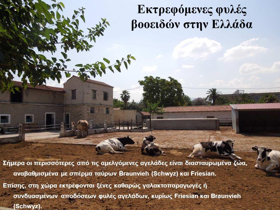 Εκτρεφόμενες φυλές βοοειδών στην Ελλάδα Σήμερα οι περισσότερες από τις αμελγόμενες αγελάδες είναι διασταυρωμένα ζώα, αναβαθμισμένα με σπέρμα ταύρων Braunvieh (Schwyz) και Friesian.