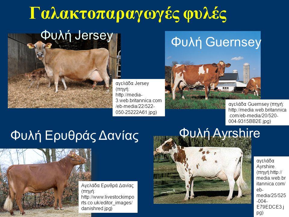 Φυλή Jersey Γαλακτοπαραγωγές φυλές Φυλή Guernsey Φυλή Αyrshire Φυλή Ερυθράς Δανίας αγελάδα Jersey (πηγή: http://media- 3.web.britannica.com /eb-media/22/522- 050-25222A61.jpg) αγελάδα Guernsey (πηγή: http://media.web.britannica.com/eb-media/20/520- 004-9315BB2E.jpg) αγελάδα Ayrshire.