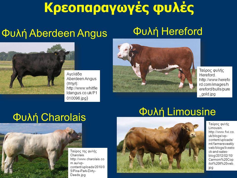 Κρεοπαραγωγές φυλές Φυλή Charolais Φυλή Limousine Φυλή Aberdeen Angus Φυλή Hereford Aγελάδα Αberdeen Angus (πηγή: http://www.whitfie ldangus.co.uk/P1 010096.jpg ) Ταύρος φυλής Hereford.