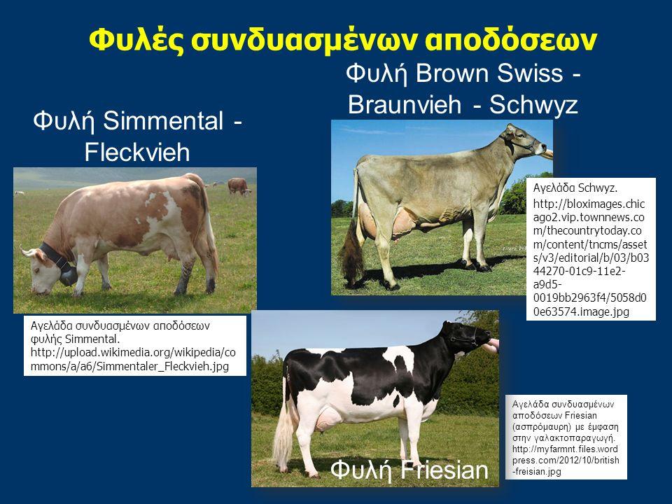 Φυλή Simmental - Fleckvieh Φυλές συνδυασμένων αποδόσεων Φυλή Brown Swiss - Braunvieh - Schwyz Αγελάδα συνδυασμένων αποδόσεων φυλής Simmental.