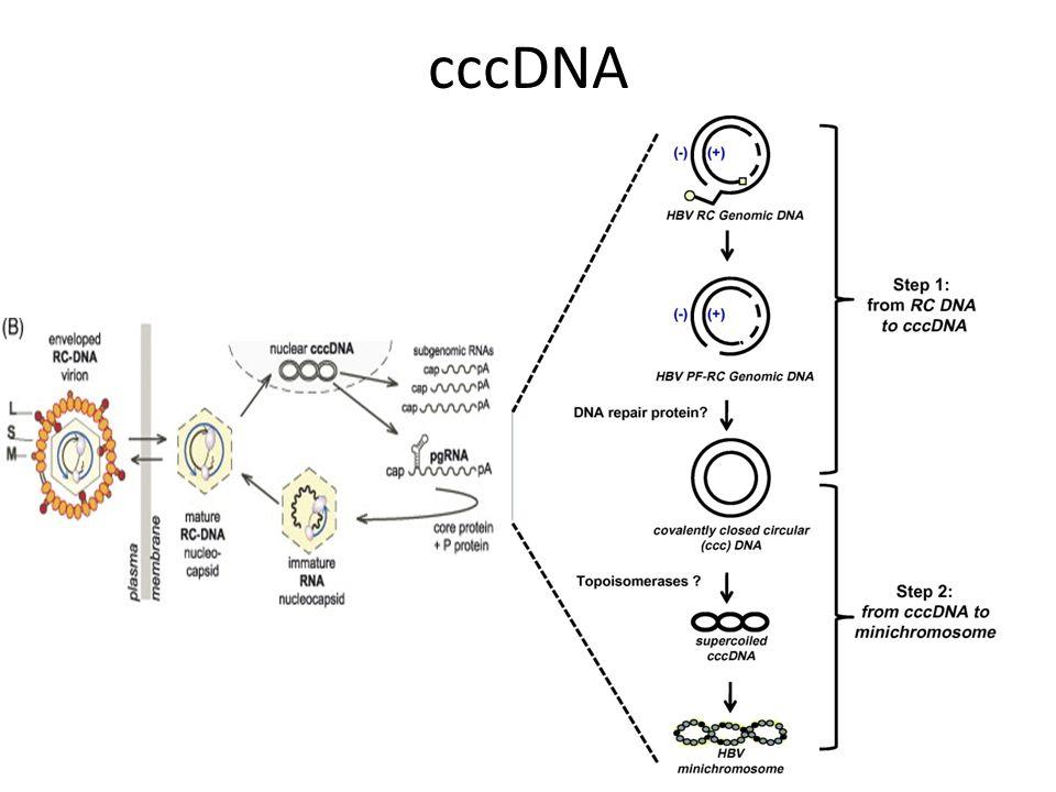 cccDNA