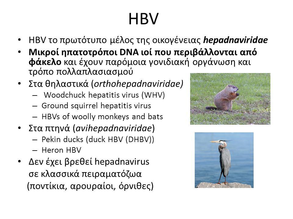 HBV HBV το πρωτότυπο μέλος της οικογένειας hepadnaviridae Μικροί ηπατοτρόποι DNA ιοί που περιβάλλονται από φάκελο και έχουν παρόμοια γονιδιακή οργάνωση και τρόπο πολλαπλασιασμού Στα θηλαστικά (orthohepadnaviridae) – Woodchuck hepatitis virus (WHV) – Ground squirrel hepatitis virus – HBVs of woolly monkeys and bats Στα πτηνά (avihepadnaviridae) – Pekin ducks (duck HBV (DHBV)) – Heron HBV Δεν έχει βρεθεί hepadnavirus σε κλασσικά πειραματόζωα (ποντίκια, αρουραίοι, όρνιθες)