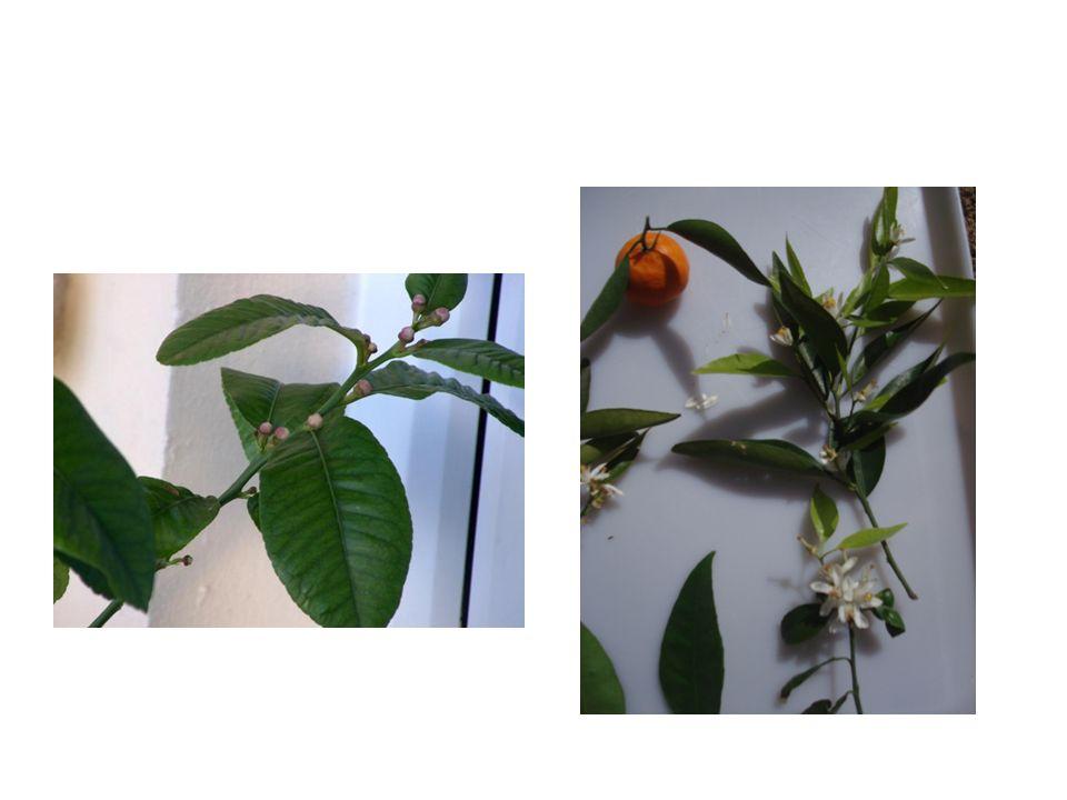 Άφυλλος βλαστός με άνθη