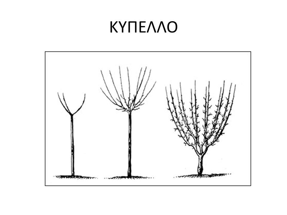 ΑΝΕΠΤΥΓΜΕΝΑ ΔΕΝΔΡΑ [ΚΛΑΔΕΜΑ ΚΑΡΠΟΦΟΡΙΑΣ] Ρύθμιση φυσικής ισορροπίας μεταξύ βλάστησης και καρποφορίας(υπάρχει συνεχής ανταγωνισμός μεταξύ των δύο αυτών δυνάμεων) Δεν επεμβαίνουμε με αυστηρά κλαδέματα για το περιορισμό της βλαστομανίας.