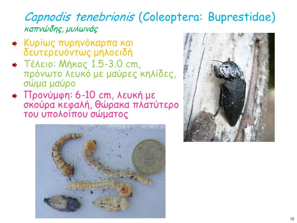 Capnodis tenebrionis (Coleoptera: Buprestidae) καπνώδης, μυλωνάς Κυρίως πυρηνόκαρπα και δευτερευόντως μηλοειδή Τέλειο: Μήκος 1.5-3.0 cm, πρόνωτο λευκό