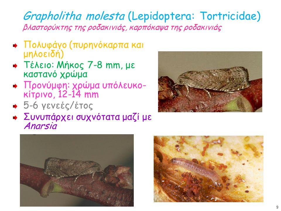 Grapholitha molesta (Lepidoptera: Tortricidae) βλαστορύκτης της ροδακινιάς, καρπόκαψα της ροδακινιάς Πολυφάγο (πυρηνόκαρπα και μηλοειδή) Τέλειο: Μήκος