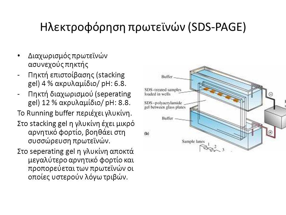Ηλεκτροφόρηση πρωτεϊνών (SDS-PAGE) Διαχωρισμός πρωτεϊνών ασυνεχούς πηκτής -Πηκτή επιστοίβασης (stacking gel) 4 % ακρυλαμίδιο/ pH: 6.8. -Πηκτή διαχωρισ