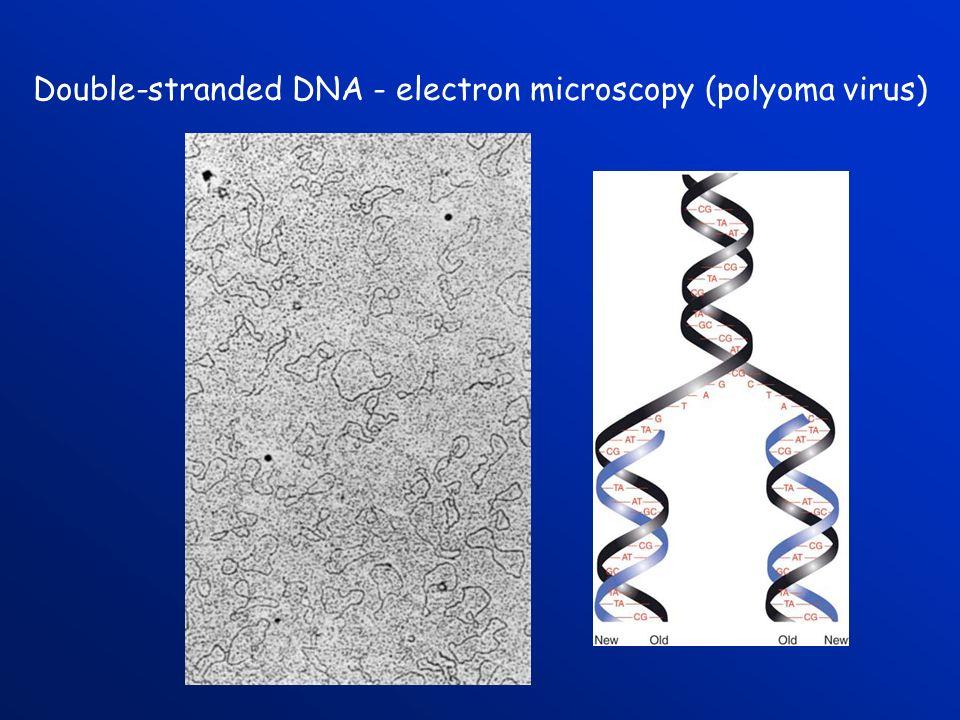 Double-stranded DNA - electron microscopy (polyoma virus)