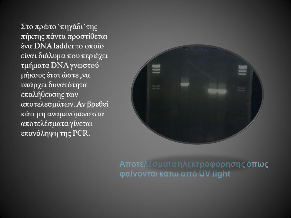 Αποτελέσματα ηλεκτροφόρησης όπως φαίνονται κάτω από UV light Στο πρώτο 'πηγάδι' της πήκτης πάντα προστίθεται ένα DNA ladder το οποίο είναι διάλυμα που