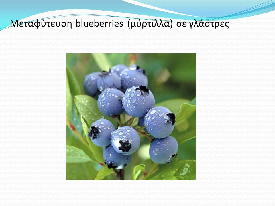 Μεταφύτευση blueberries (μύρτιλλα) σε γλάστρες