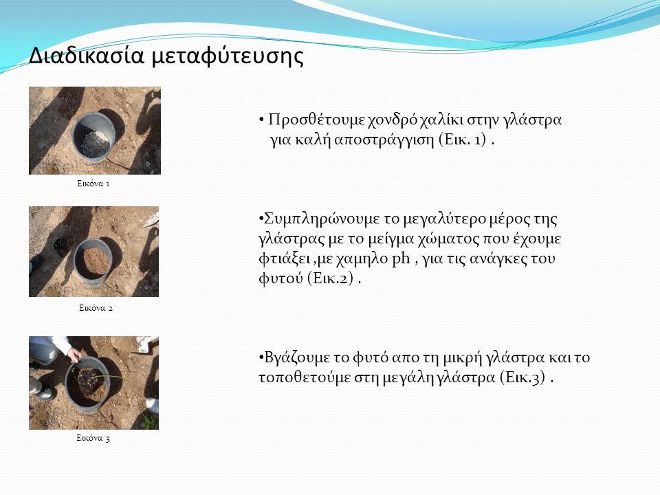 Διαδικασία μεταφύτευσης Προσθέτουμε χονδρό χαλίκι στην γλάστρα για καλή αποστράγγιση (Εικ. 1). Συμπληρώνουμε το μεγαλύτερο μέρος της γλάστρας με το με