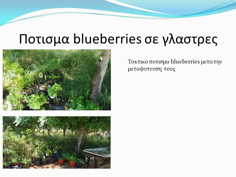 Ποτισμα blueberries σε γλαστρες Τακτικο ποτισμα blueberries μετα την μεταφυτευση τους